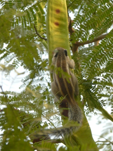 The squirrel up the Gulmohur (Flame Tree)