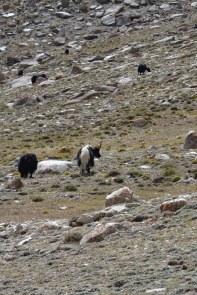 Himalayan Yak