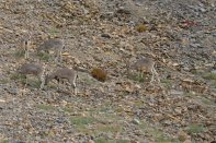 Bharal, Himalayan Blue Sheep