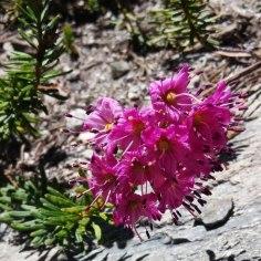 Emerald Lake wildflowers (1)