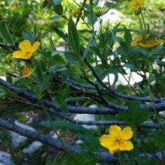 Emerald Lake wildflowers (3)