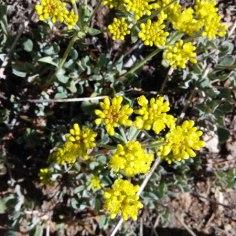 Emerald Lake wildflowers (5)