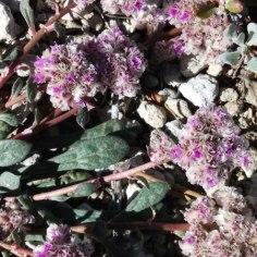 Emerald Lake wildflowers (6)